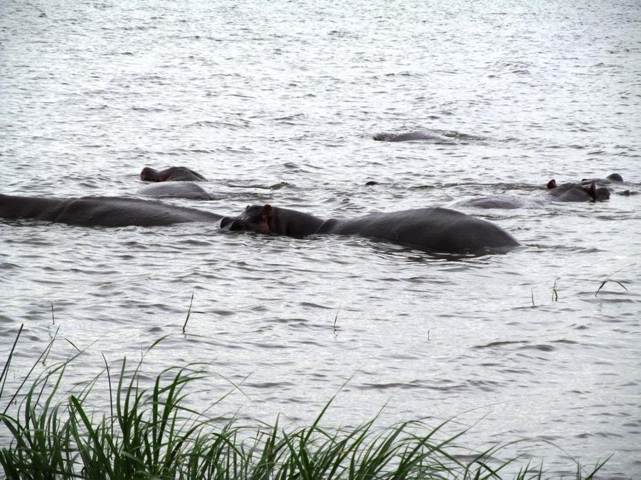 Lake Edward hippos