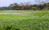 Eutrophication - water hyacinth - at Anuradaphura