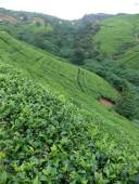 Nuwara Eliya tea area