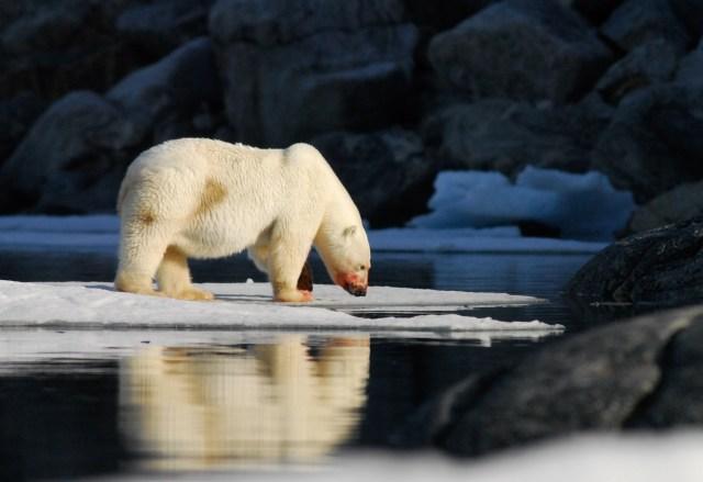 polar-bear-ursus-maritimus-observing-the-ice-norway_0103-2200x1472px